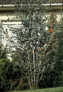 Eucalyptus Plante D Intérieur : eucalyptus plante d 39 ext rieur gamm vert ~ Melissatoandfro.com Idées de Décoration