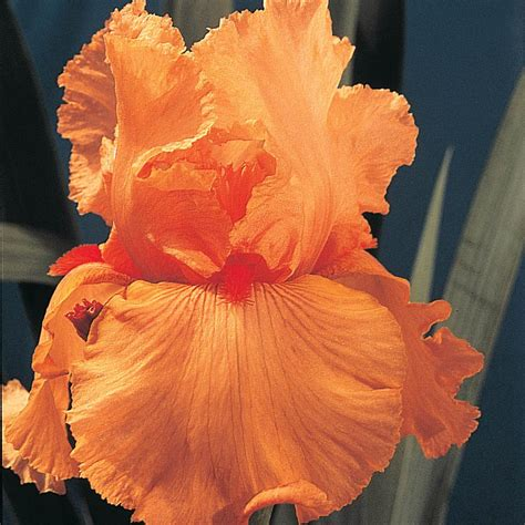 brecks disco  bearded iris orange flowers