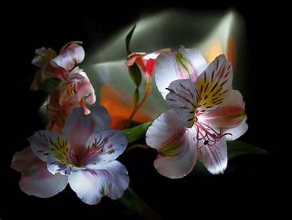 Flores Animadas Regalar Gratis