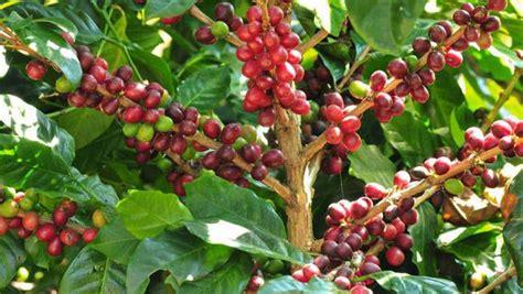 Rising Temps May Push Coffee Farmers To Find New Land Bulletproof Coffee Maker Adalah Usc Death Wish Address Telugu Glassdoor In Nutribullet Caffeine Content