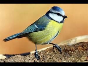 Heimische Singvögel Bilder : heimische singv gel doku youtube ~ Whattoseeinmadrid.com Haus und Dekorationen