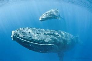 Face to Face with Mother and Baby Humpback Whale | Douglas ...