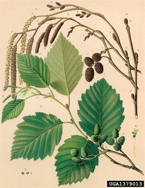 Best Alder Tree Ideas And Images On Bing Find What You Ll Love