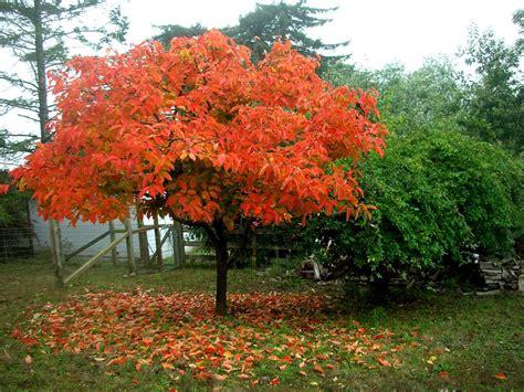 tree in fall tree identification diospyros kaki japanese persimmon