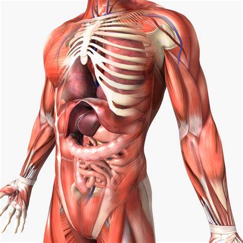human male  female anatomy  model