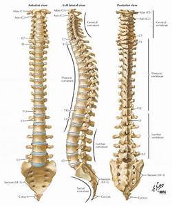 Back Bone And Diagram Picture Lower Back Bones Anatomy ...