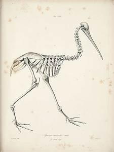 Kiwi skeleton – Kiwi – Te Ara Encyclopedia of New Zealand