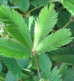 jual tanaman putri malu sensitive plant bibit