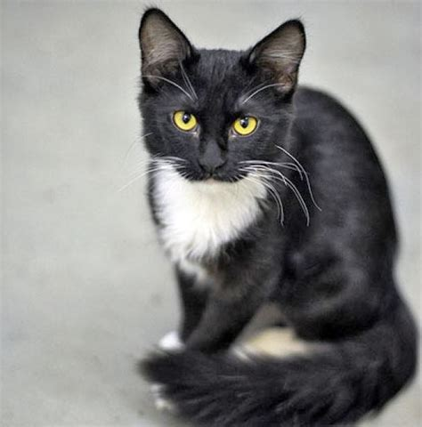 tuxedo cat breed cats chaos and confusion