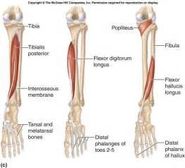 Tibialis Anterior and Posterior Muscles