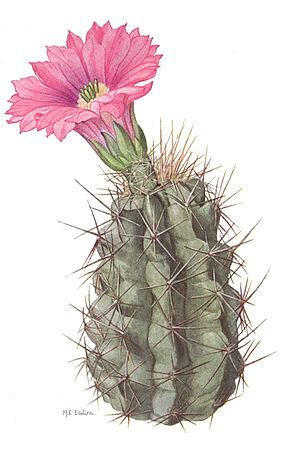 national geographic magazinevolume number  state flowersthe cactus wikisource
