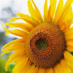 Soaring sunflowers - Sunset