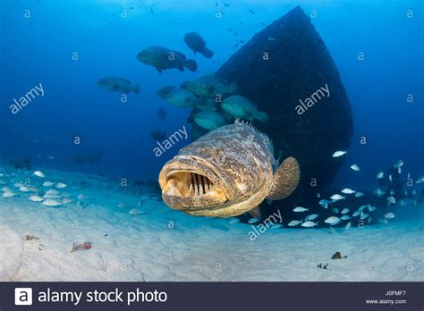 grouper goliath aggregation spawning months between during alamy jewfish august cave october beach