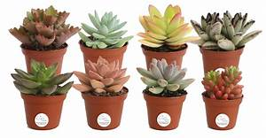 Delray, Plants, Live, 8-pack, 2, Inches, Tall, Assorted, Succulents, Indoor, House, Plants