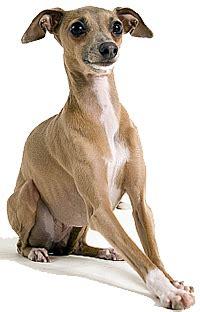 review  igitalian greyhound