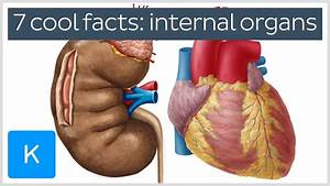 7 Cool Facts About The Body U0026 39 S Internal Organs