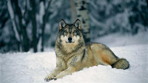 And Wolf Wallpaper Hd by Wolf Hd Wallpaper Herunterladen