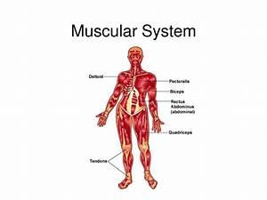 Skeletal Muscle  Skeletal Muscles Are Voluntary Muscles T