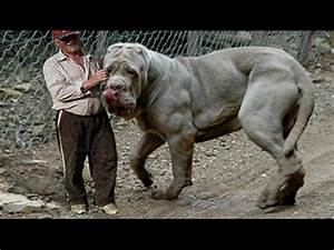 TOP 10 STRONGEST DOG | Biggest Guard Dogs In The World ...