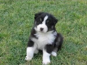 Australian Shepherd Black And White Puppy 72560   SOFTHOUSE