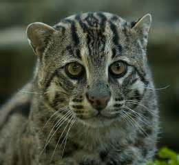 fishing cat hybridclan sign up are you a clan cat wildcat or both