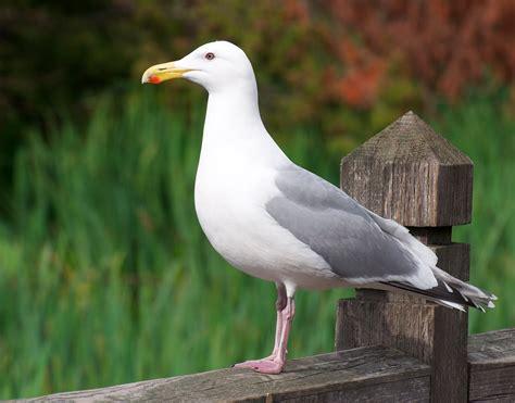 Nw Bird Blog Herring Gull