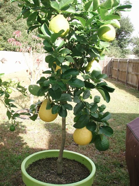 growing lemon tree in a pot gardening trees in and pots