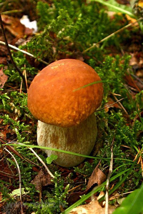 Parastā apšubeka - Baravikas (Boletus edulis) - redzet.eu