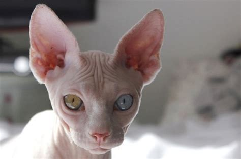 10 Best Sphynx Cat Names