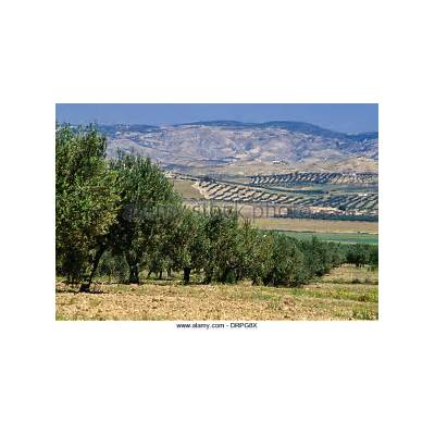 Olive Tree Tunisia Stock Photos &