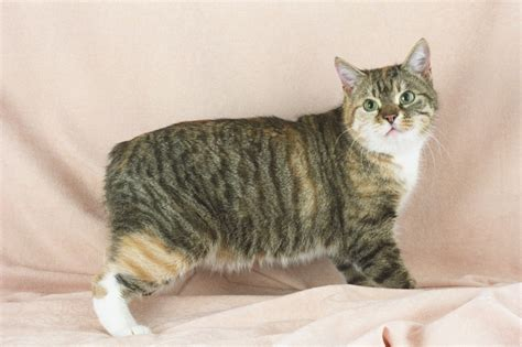 Cat Breeds Beginning With M-n. History And Characteristics