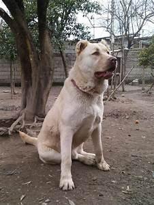 Kuchi dog - Wikipedia