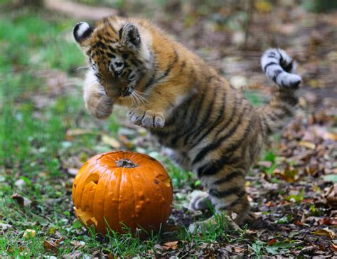 Porcupine Eating Pumpkin And Talking by Cute Animals With Pumpkins To Get You Psyched For Autumn