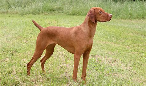 Do Vizsla Puppies Shed by Vizsla Breed Information