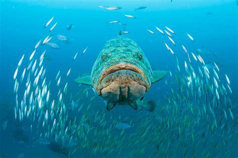 grouper goliath swimming super florida wreck singer near cum island scad reef swims mizpah round through