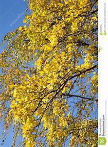 Branche De Bouleau : la branche d 39 un arbre de bouleau au jour d 39 automne photo ~ Melissatoandfro.com Idées de Décoration