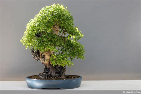 bonsai umtopfen anleitung bonsai umtopfen anleitung in 7 schritten hausgarten net