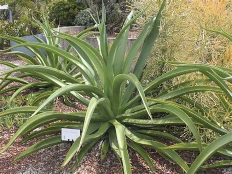 octopus plant care plant finder search results page 1 search criteria genus agave