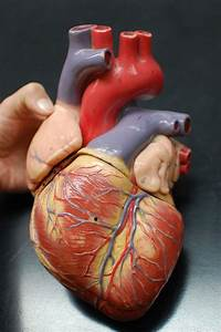 Human Anatomy Lab  Heart Models