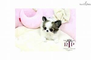 The gallery for --> Teacup Chihuahua Newborn