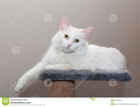 White Fluffy Cat With Yellow Eyes Lying Stock Images