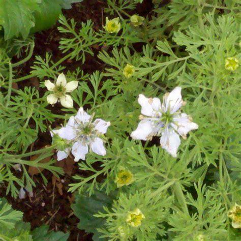 Nutmeg Plant Seeds (Nigella sativa)