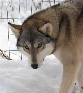 7 Breeds of Domesticated Dogs That Resemble Wolves – Wow ...
