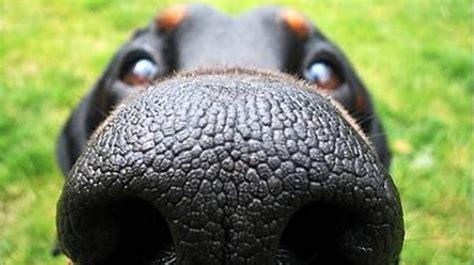 dry dog nose   dog  sick