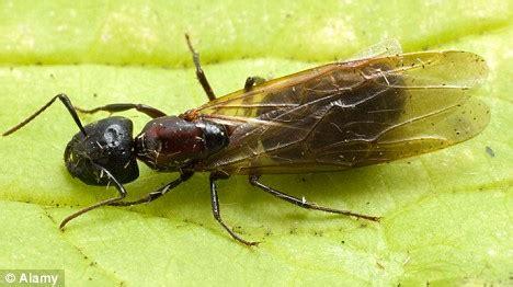 flying ants in bathroom uk image gallery winged ants