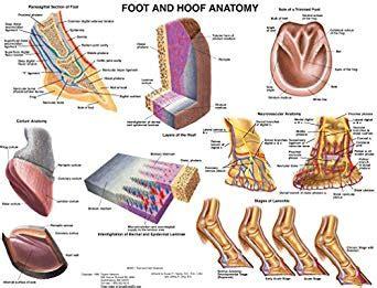 amazoncom equine foot  hoof anatomy chart horse tbd