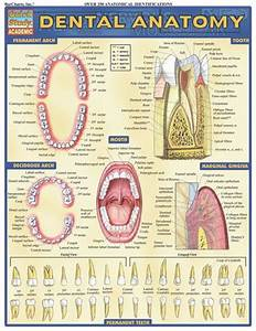 Dental Anatomy Laminated Reference Guide  3 95 Loaded With