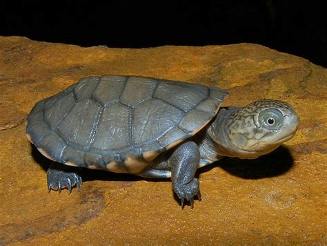 sideneck turtle gc6116k 15 african side necked turtle unknown cache in florida united states created by