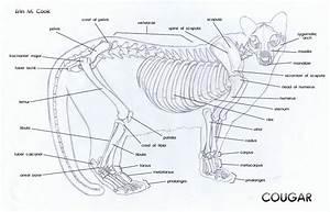 Bio Geo Nerd  Puma Concolor