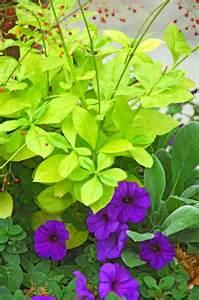 Purple Shade Perennial Plants